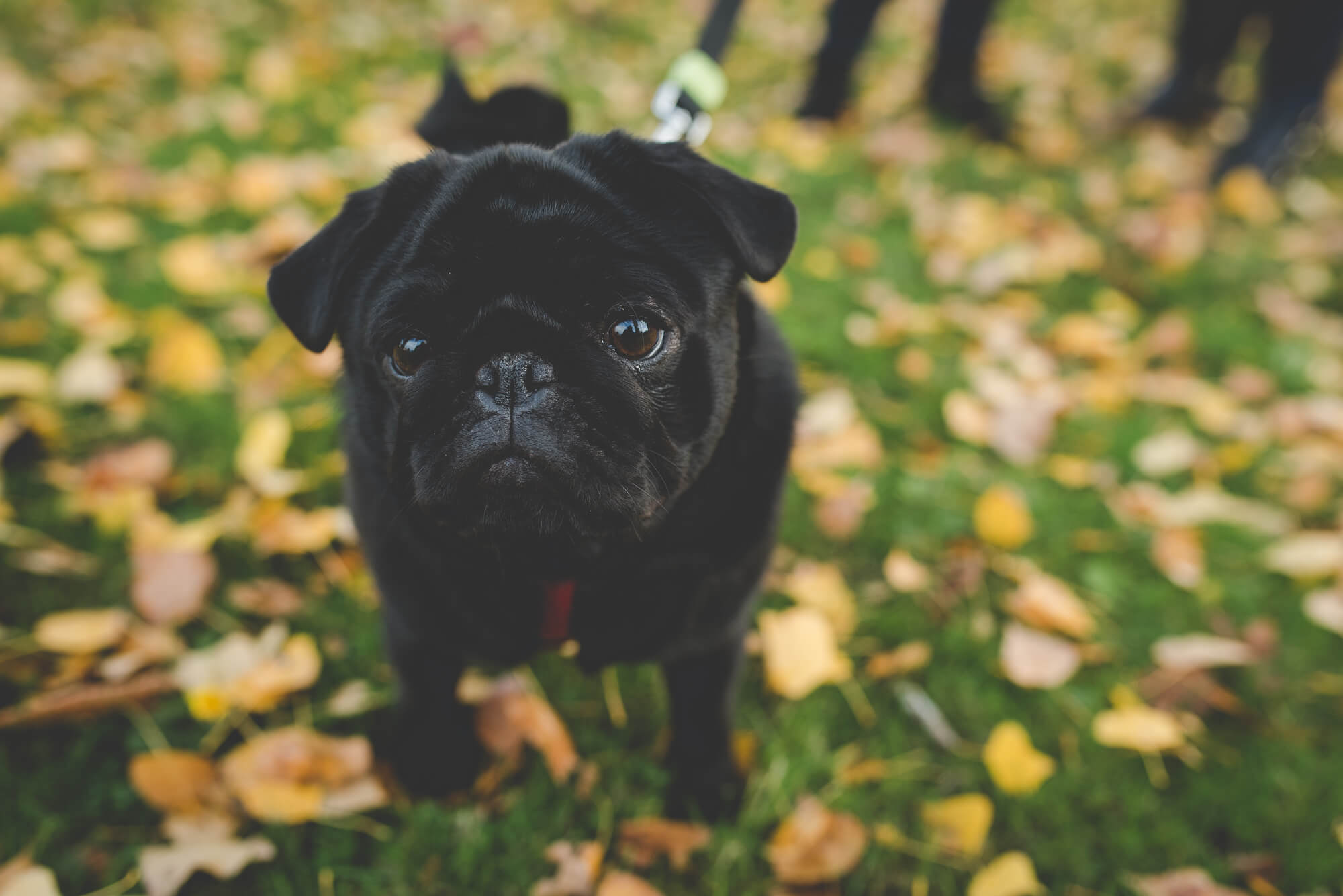 cute black pug puppy in fall leaves | QE Park autumn engagement | Vancouver lesbian wedding photographer