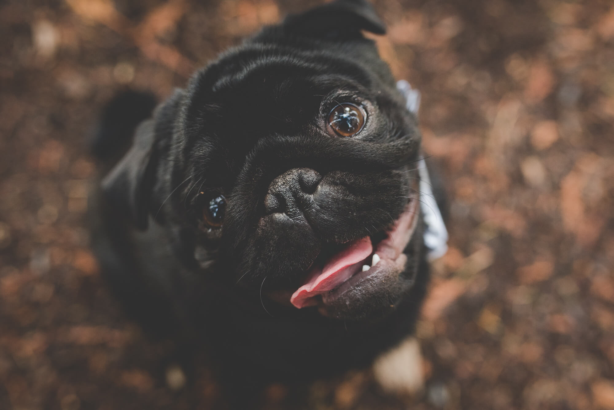 black pug puppy sticks tongue out while on walk in the forest | QE Park autumn engagement | Vancouver lesbian wedding photographer